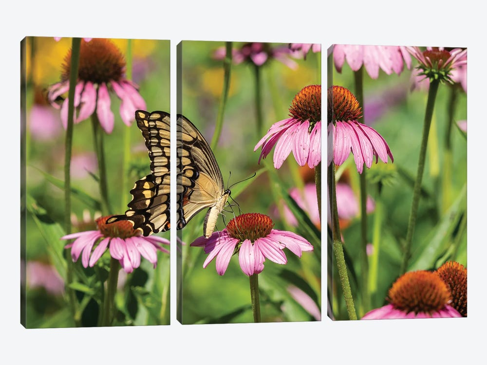 Giant Swallowtail on Purple Coneflower. Marion County, Illinois, USA. by Richard & Susan Day 3-piece Canvas Print