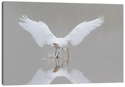 Great Egret, Ardea alba, fishing in wetland in fog, Illinois Canvas Art Print