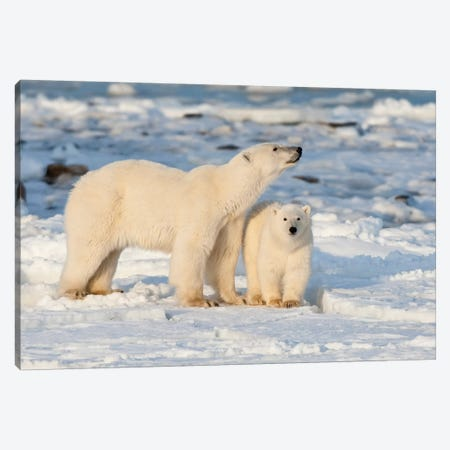 Polar Bear Mother And Cub Near Hudson Bay In Churchill Wildlife Management Area, Churchill, Mb Canada Canvas Print #RSD7} by Richard & Susan Day Art Print