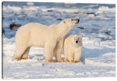Polar Bear Mother And Cub Near Hudson Bay In Churchill Wildlife Management Area, Churchill, Mb Canada Canvas Art Print