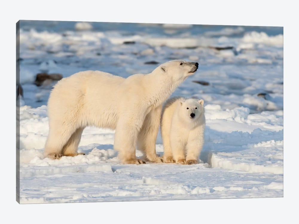 Polar Bear Mother And Cub Near Hudson Bay In Churchill Wildlife Management Area, Churchill, Mb Canada by Richard & Susan Day 1-piece Canvas Art Print