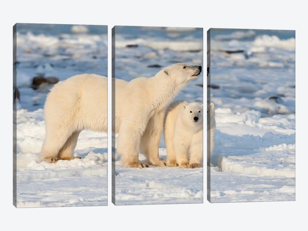 Polar Bear Mother And Cub Near Hudson Bay In Churchill Wildlife Management Area, Churchill, Mb Canada by Richard & Susan Day 3-piece Canvas Print