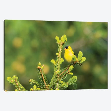 American Goldfinch (Spinus tristis) male in spruce tree, Marion County, Illinois Canvas Print #RSD8} by Richard & Susan Day Canvas Art