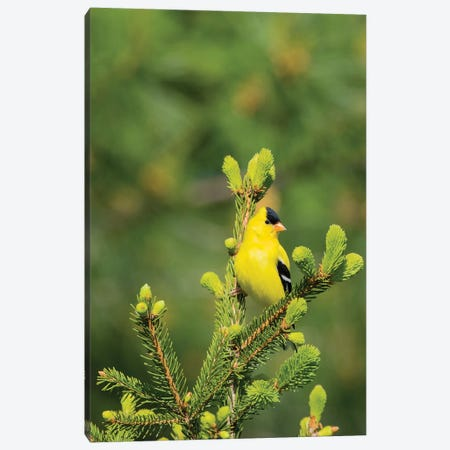 American Goldfinch (Spinus tristis) male in spruce tree, Marion County, Illinois Canvas Print #RSD9} by Richard & Susan Day Canvas Wall Art