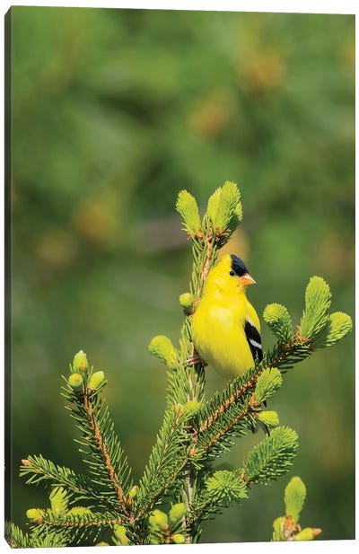 American Goldfinch (Spinus tristis) male in spruce tree, Marion County, Illinois Canvas Art Print
