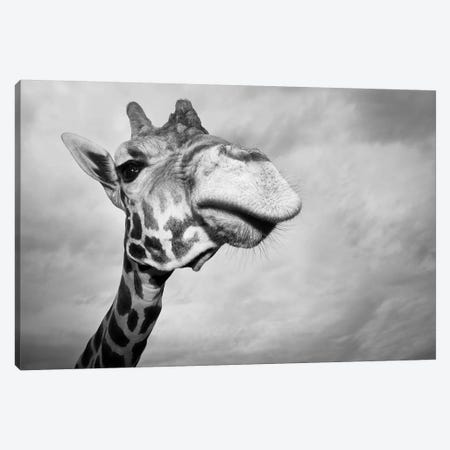 Giraffe, USA, Texas, Fossil Rim Wildlife Area, Canvas Print #RSH1} by Rob Sheppard Canvas Wall Art