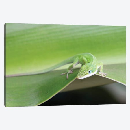 USA, Hawaii, Oahu, Green Anole Canvas Print #RTI19} by Rob Tilley Canvas Art Print