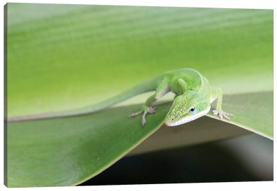 USA, Hawaii, Oahu, Green Anole Canvas Art Print
