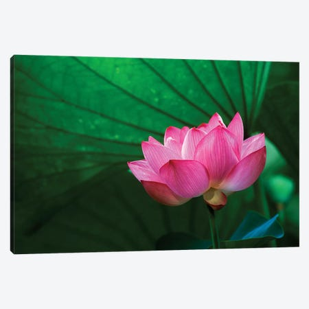 Ohga Lotus, Sankei-en (Sankei Garden), Yokohama, Kanagawa Prefecture, Japan Canvas Print #RTI1} by Rob Tilley Canvas Artwork