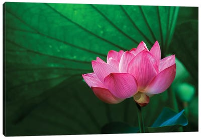 Ohga Lotus, Sankei-en (Sankei Garden), Yokohama, Kanagawa Prefecture, Japan Canvas Print #RTI1
