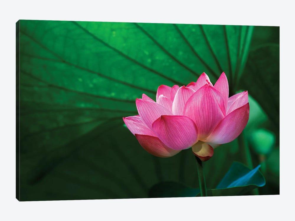 Ohga Lotus, Sankei-en (Sankei Garden), Yokohama, Kanagawa Prefecture, Japan by Rob Tilley 1-piece Canvas Print