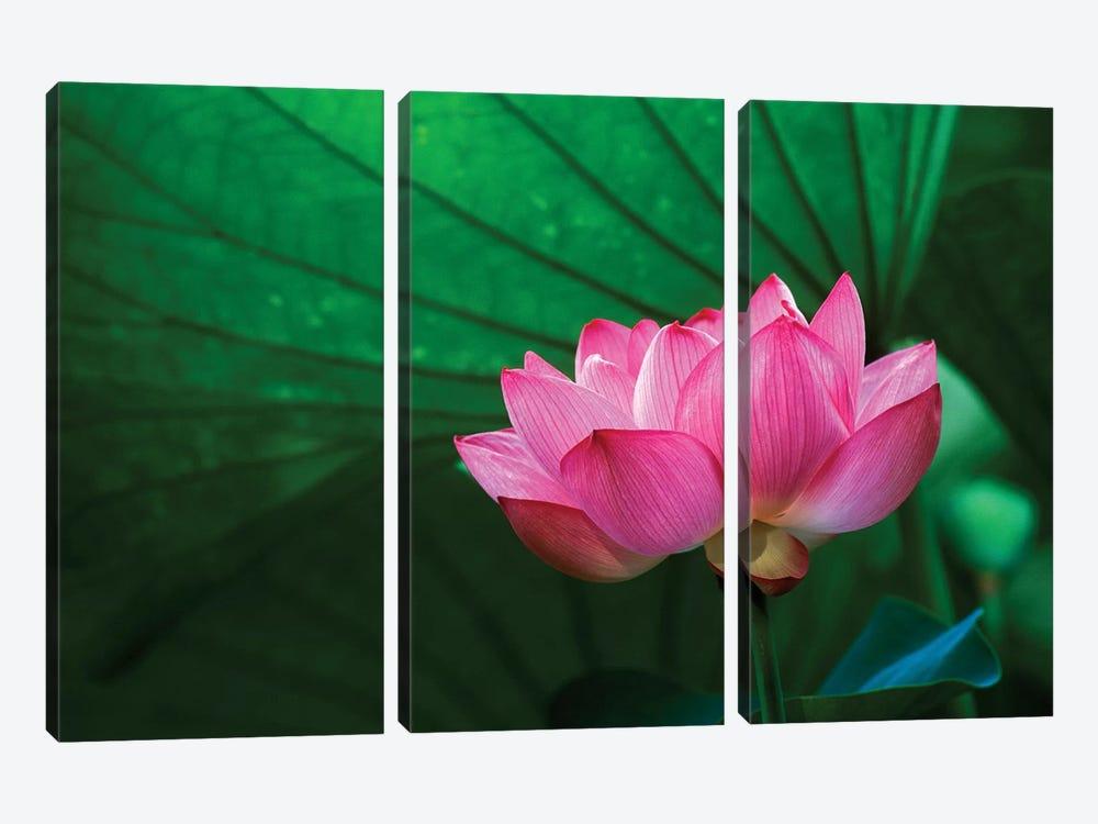 Ohga Lotus, Sankei-en (Sankei Garden), Yokohama, Kanagawa Prefecture, Japan by Rob Tilley 3-piece Canvas Print