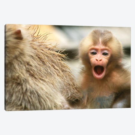 Snow Monkey Baby, Asia, Japan, Nagano, Jigokudani. Canvas Print #RTI24} by Rob Tilley Canvas Print