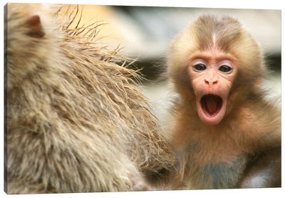 Snow Monkey Baby, Asia, Japan, Nagano, Jigokudani. Canvas Art Print