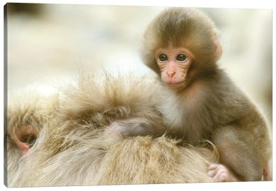 Snow Monkey Baby On Mother's Back, Asia, Japan, Nagano, Jigokudani. Canvas Art Print