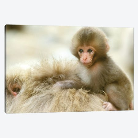 Snow Monkey Baby On Mother's Back, Asia, Japan, Nagano, Jigokudani. Canvas Print #RTI25} by Rob Tilley Canvas Print