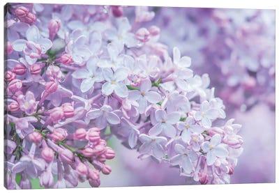 USA, Washington State, Seattle. Kubota Garden, lilac close-up. Canvas Art Print