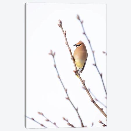 Cedar Waxwing I Canvas Print #RUP10} by Rupa Sutton Art Print