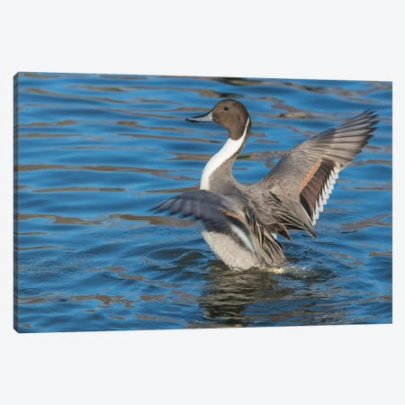 The Northern Pintail Duck Canvas Print #RWR10} by Richard Wright Canvas Wall Art