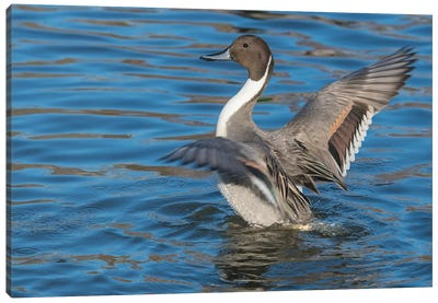 The Northern Pintail Duck Canvas Art Print