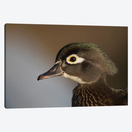 Wood Duck Female, Close-Up Of Head. Canvas Print #RWR11} by Richard Wright Canvas Artwork