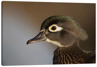 Wood Duck Female, Close-Up Of Head. Canvas Art Print