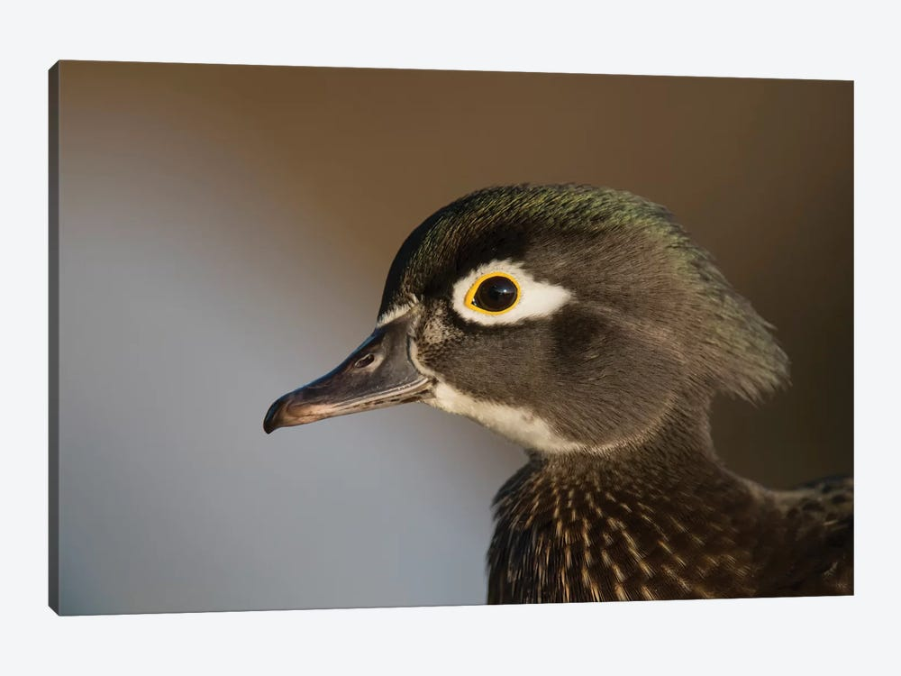 Wood Duck Female, Close-Up Of Head. by Richard Wright 1-piece Canvas Art Print