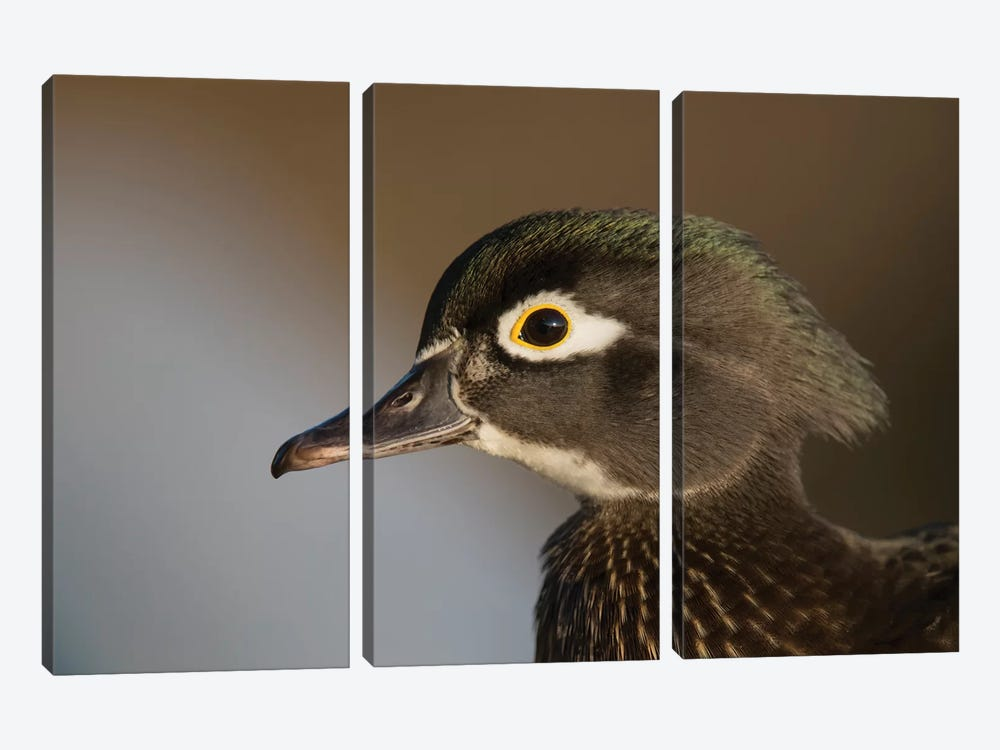 Wood Duck Female, Close-Up Of Head. by Richard Wright 3-piece Canvas Art Print