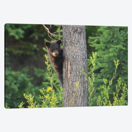 Black Bear Cub In Tree Canvas Print #RWR5} by Richard Wright Canvas Wall Art