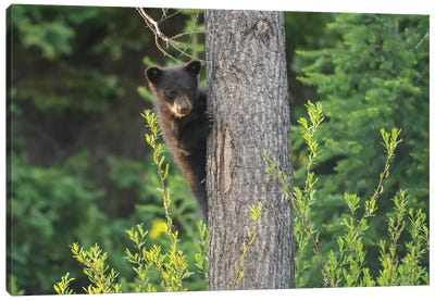 Black Bear Cub In Tree Canvas Art Print