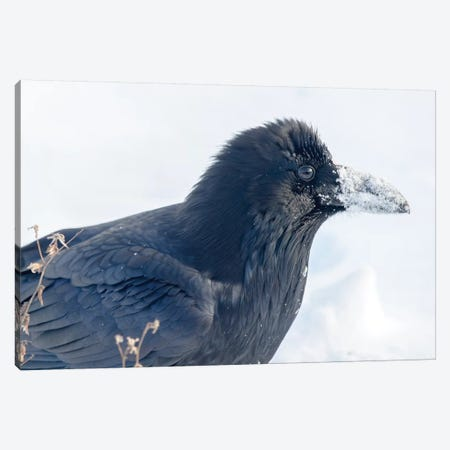 The Common Raven (Northern Raven) Is A Large All-Black Passerine Bird Found Across The Northern Hemisphere. Canvas Print #RWR7} by Richard Wright Canvas Artwork