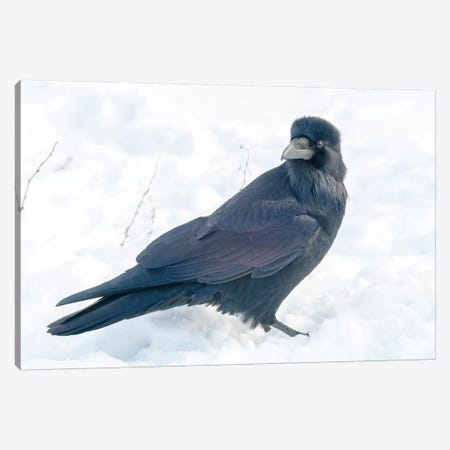 The Common Raven (Northern Raven) Is A Large All-Black Passerine Bird Found Across The Northern Hemisphere. Canvas Print #RWR8} by Richard Wright Art Print