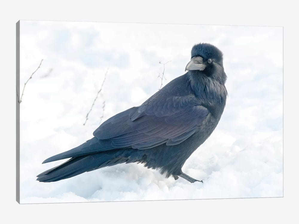 The Common Raven (Northern Raven) Is A Large All-Black Passerine Bird Found Across The Northern Hemisphere. by Richard Wright 1-piece Canvas Print