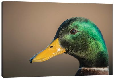 The Mallard Is A Dabbling Duck That Breeds Throughout The Temperate And Subtropical Americas, Eurasia, And North Africa. Canvas Art Print