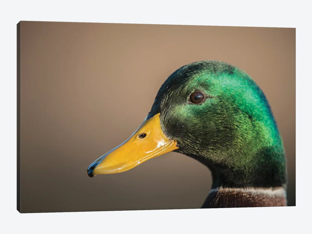 The Mallard Is A Dabbling Duck That Breeds Throughout The Temperate And Subtropical Americas, Eurasia, And North Africa. by Richard Wright 1-piece Canvas Wall Art