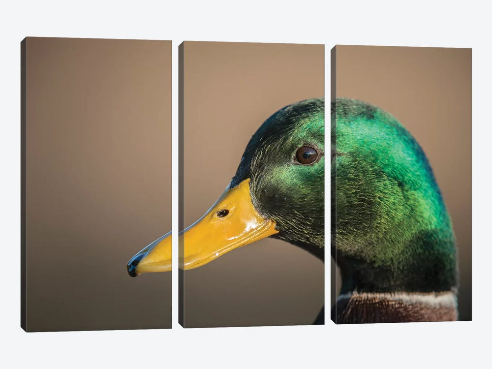 The Mallard Is A Dabbling Duck That Breeds Throughout The Temperate And Subtropical Americas, Eurasia, And North Africa. 3-piece Canvas Art