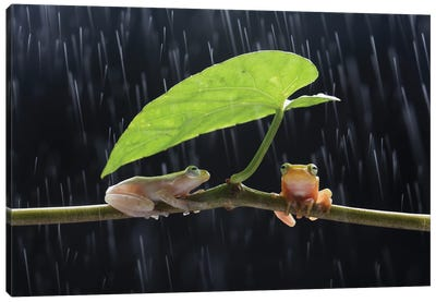 Frogs In The Rain Canvas Art Print