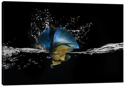 Blue Betta Splash Canvas Art Print
