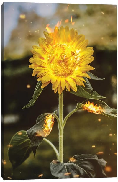 Real Sunflower Canvas Art Print
