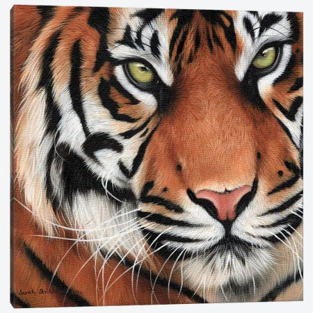 Tiger Close-Up II 3-Piece Canvas #SAS100} by Sarah Stribbling Canvas Art