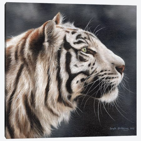 White Tiger I Canvas Print #SAS106} by Sarah Stribbling Canvas Art Print
