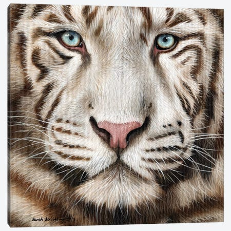 White Tiger II 3-Piece Canvas #SAS107} by Sarah Stribbling Art Print