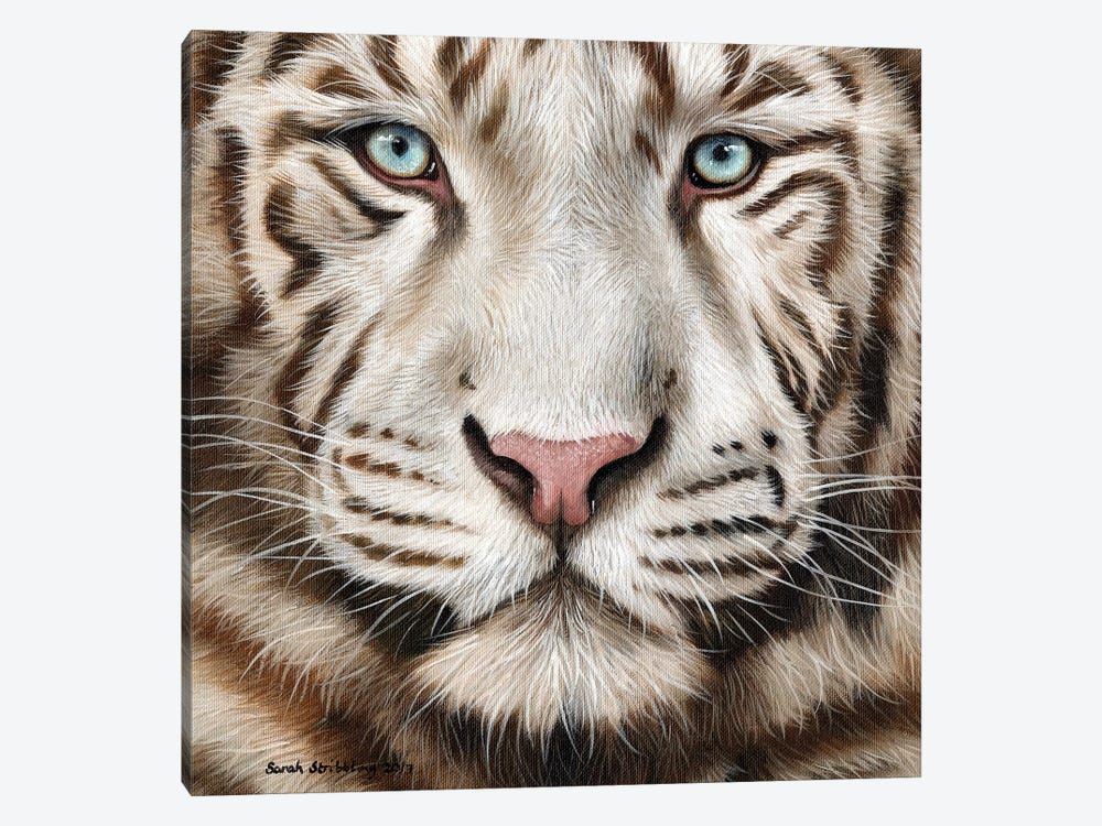 White Tiger II by Sarah Stribbling 1-piece Canvas Art Print