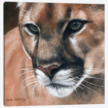 Cougar Canvas Print #SAS30} by Sarah Stribbling Canvas Wall Art