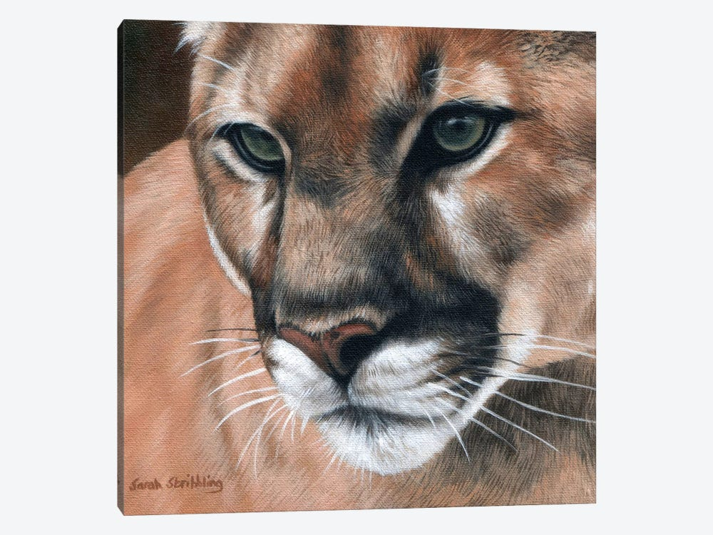 Cougar by Sarah Stribbling 1-piece Canvas Art