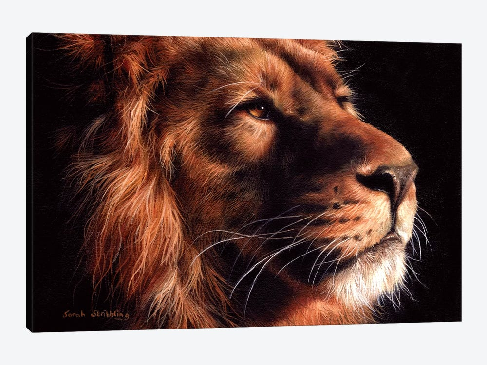 African Lion II by Sarah Stribbling 1-piece Canvas Print