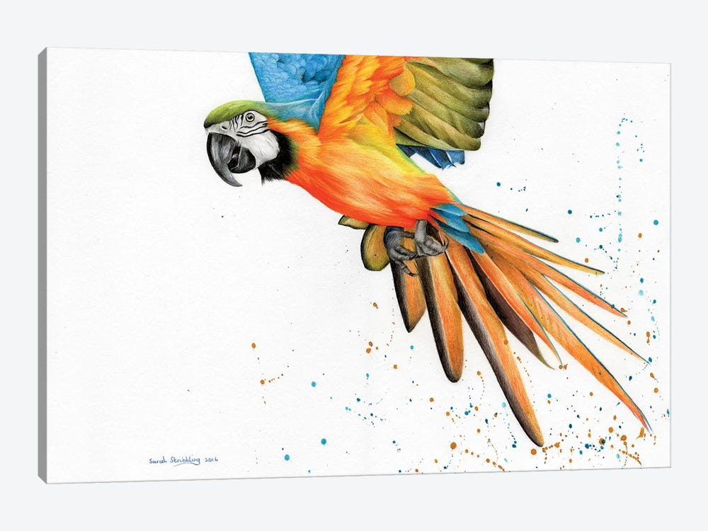 Macaw  by Sarah Stribbling 1-piece Canvas Art