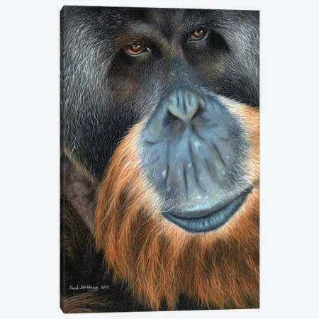 Orangutan Canvas Print #SAS75} by Sarah Stribbling Art Print