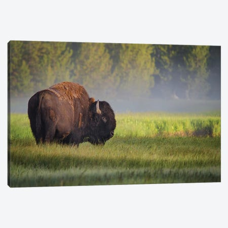 Bison In Morning Light Canvas Print #SBI1} by Sandipan Biswas Canvas Print