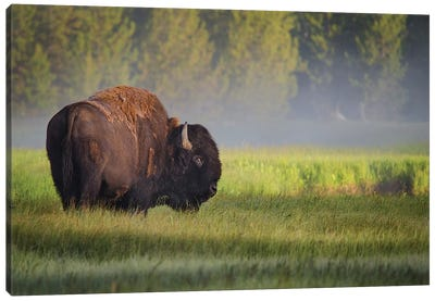 Bison In Morning Light Canvas Art Print